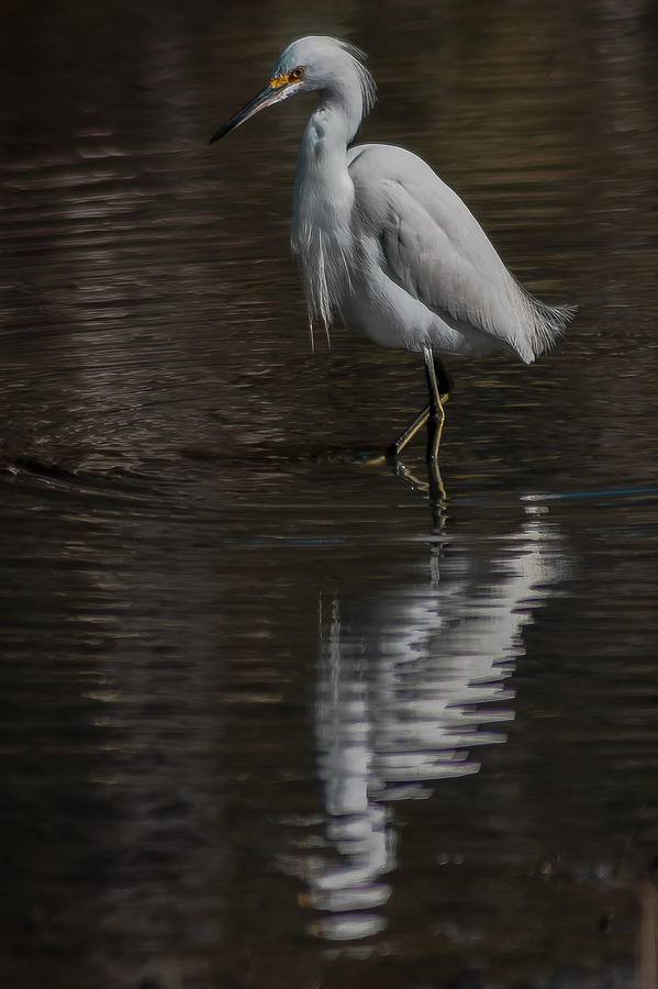 Little Blue Heron Photograph - Walking Slowly  by Charles Moore