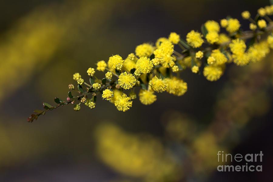 Australian Native Photograph - Wattle Flowers by Joy Watson
