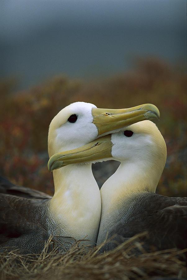 Waved Albatross Pair Bonding Galapagos Photograph by Tui De Roy