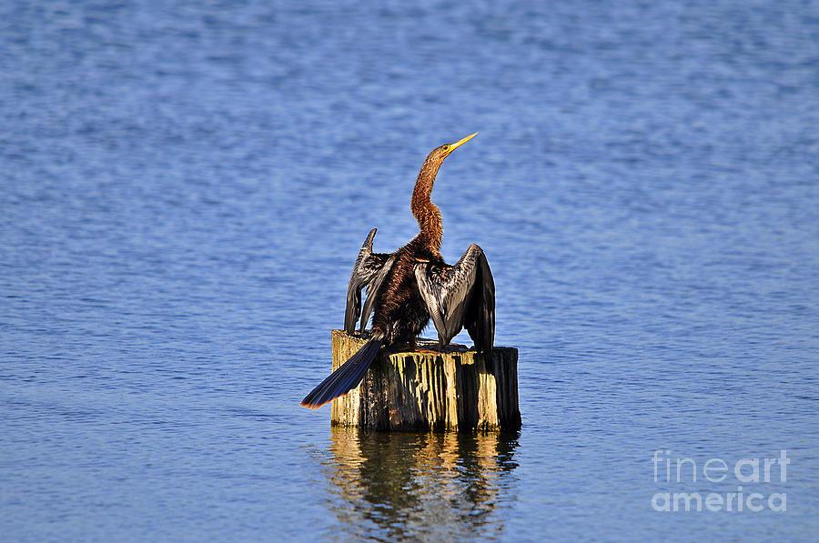 Anhinga Photograph - Wet Wings by Al Powell Photography USA