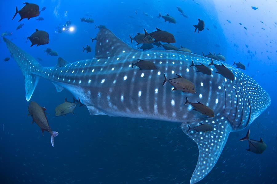 Animals Photograph - Whale Shark by David Valencia