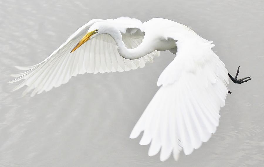 Great White Egret Photograph - What A Beauty by Paulette Thomas