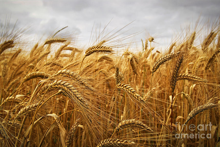 Wheat Photograph - Wheat by Elena Elisseeva