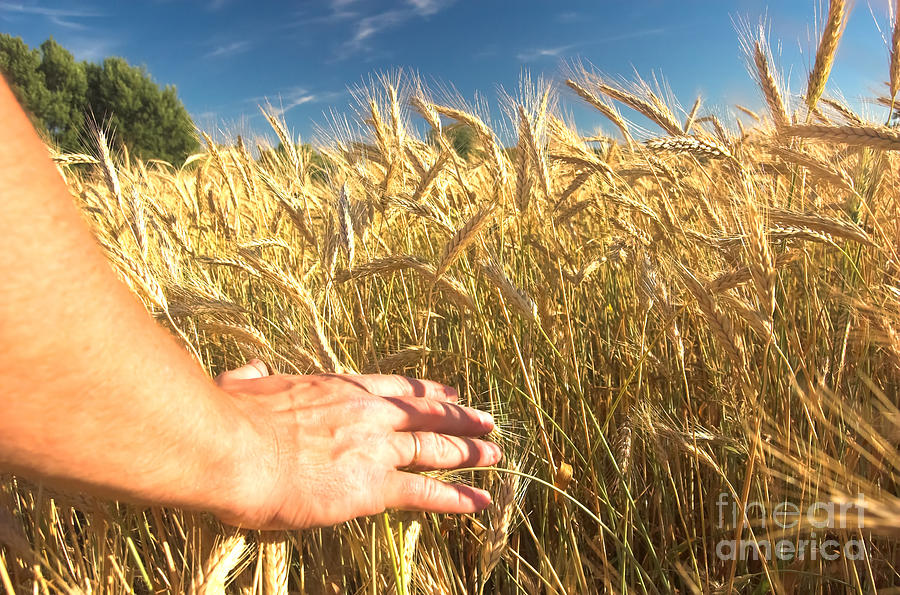 Agriculture Photograph - Wheat Field by Michal Bednarek