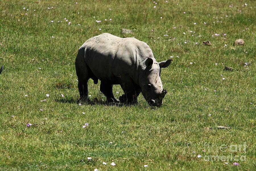 Rhinoceros Photograph - White Rhinoceros Calf  by Aidan Moran