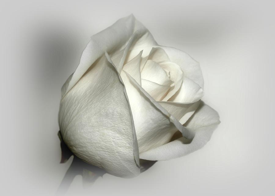 Flowers Photograph - White Rose by Sandy Keeton