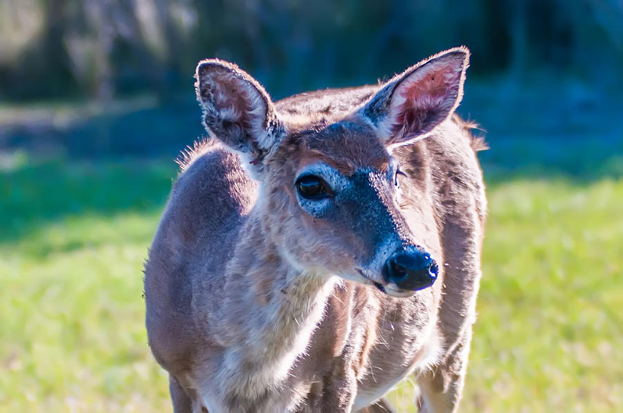 White Photograph - White Tail Deer Bambi In The Wild by Alex Grichenko