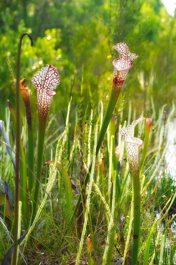 Angiosperms Photograph - White-topped Pitcher Plant by Rich Leighton