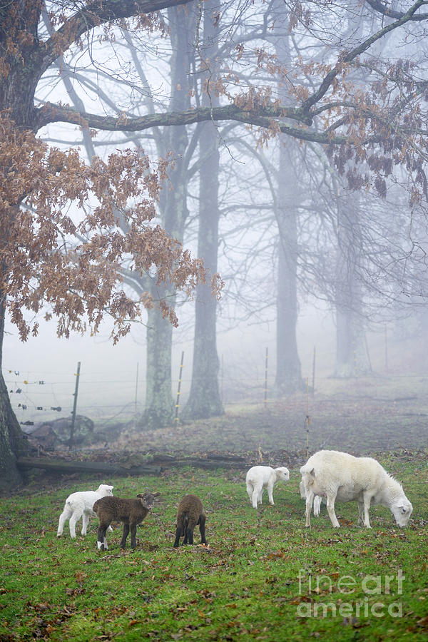 Lamb Photograph - Winter Lambs Foggy Day by Thomas R Fletcher