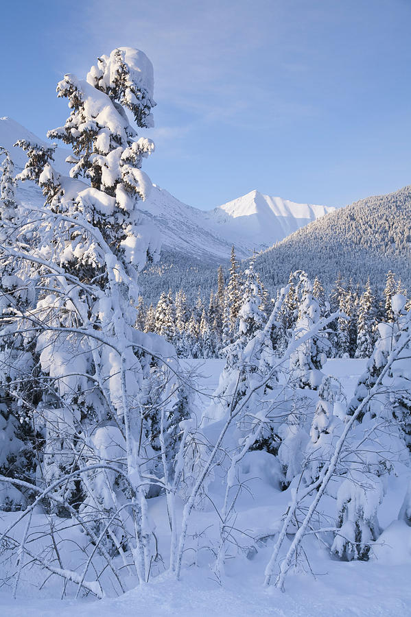 Winter Scenic Of Snowcovered Spruce Photograph By Jeff Schultz