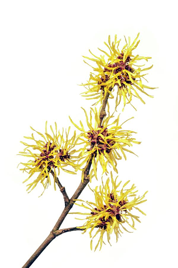 Witch Hazel Hamamelis Sp Photograph By Alex Hyde