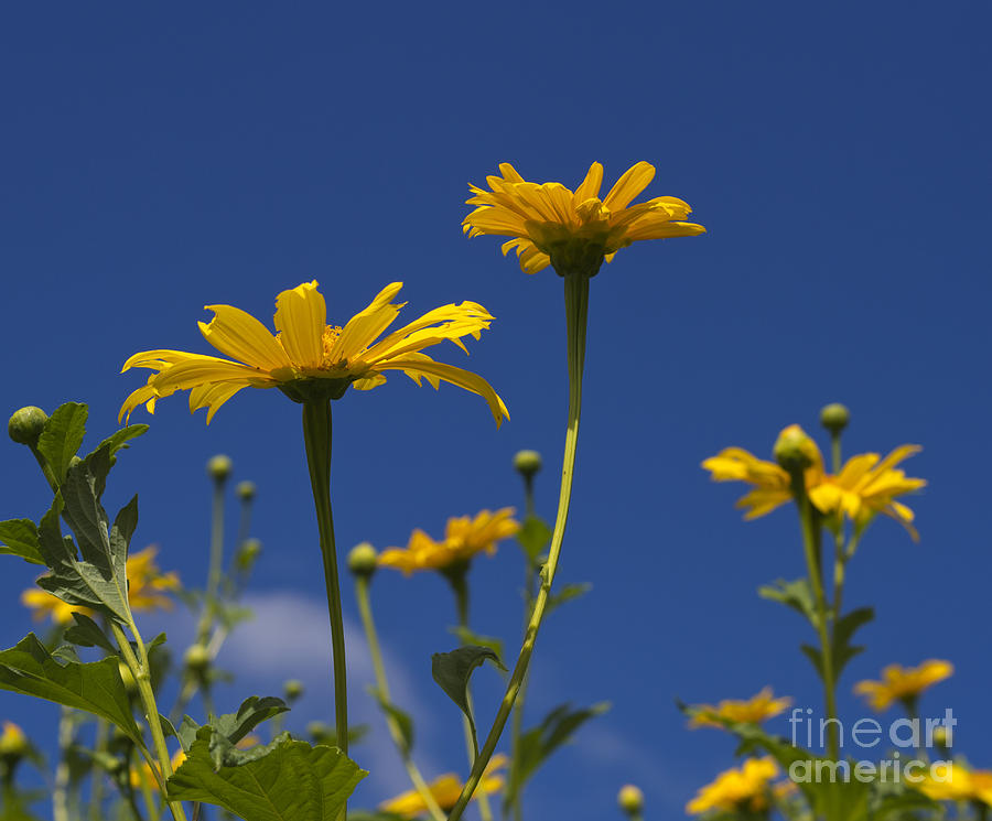 Yellow Photograph - Yellow Buttons by Allan  Hughes