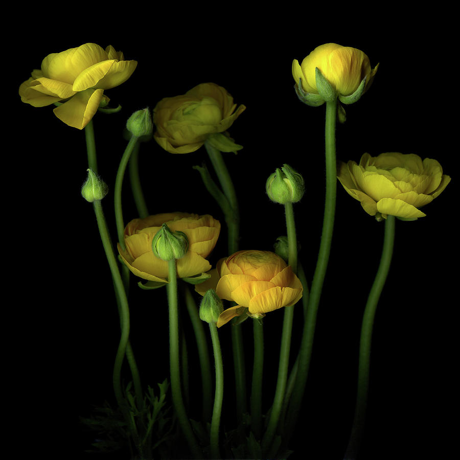 Yellow Ranunculus 2 Photograph by Photograph By Magda Indigo