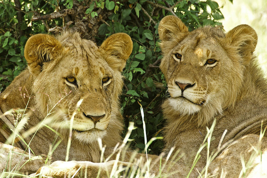 Lion Photograph - Young Brothers by Michele Burgess