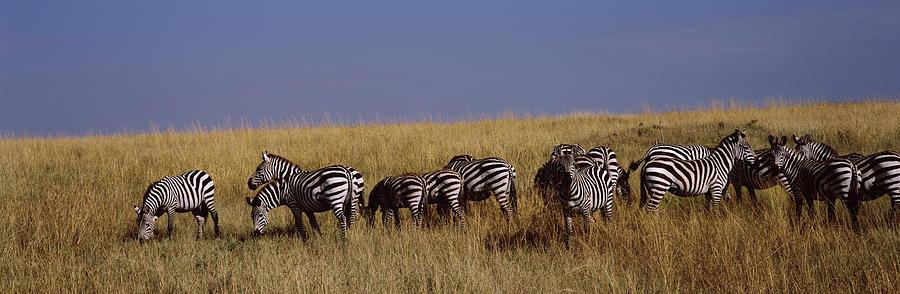 Horizontal Photograph - Zebra Migration, Masai Mara National by Animal Images