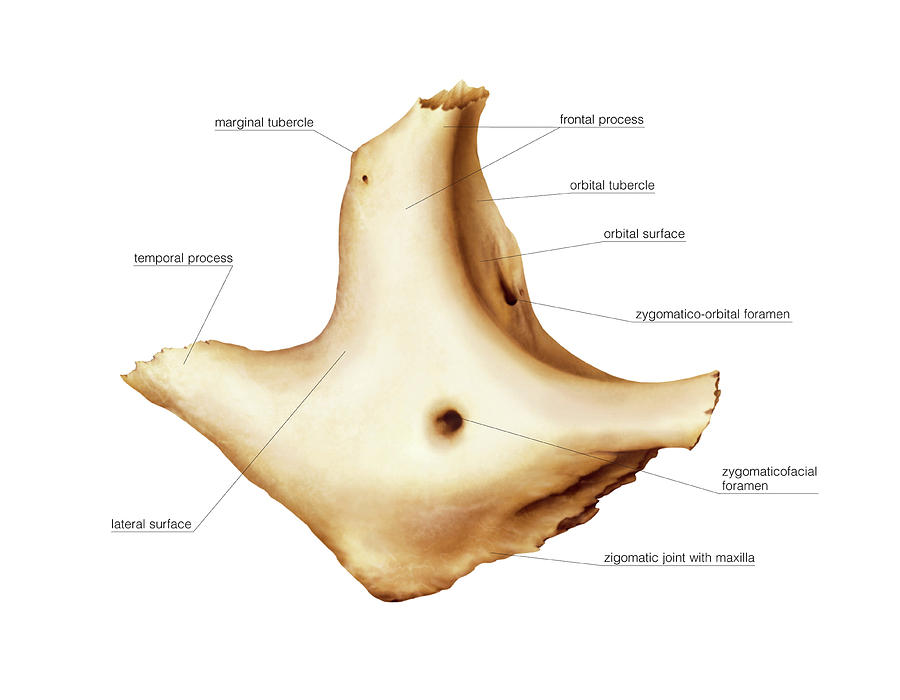 Zygomatic Bone Photograph By Asklepios Medical Atlas