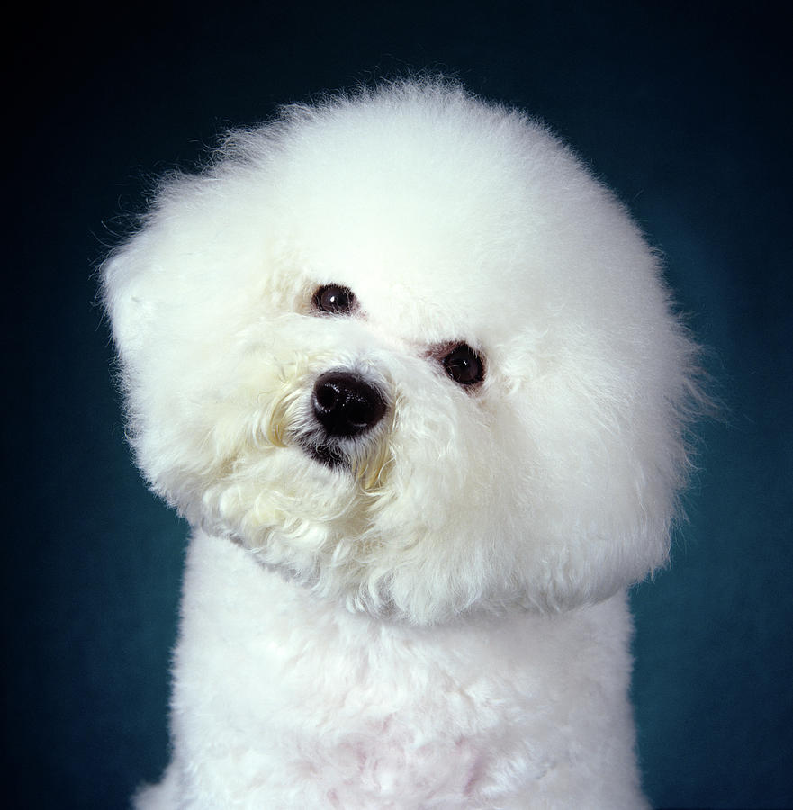 Vertical Photograph - 2000s Bichon Frise Dog Portrait Looking by Animal Images
