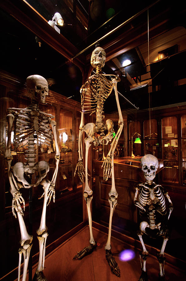 2000s Three Human Skeletons Displayed Photograph By Vintage