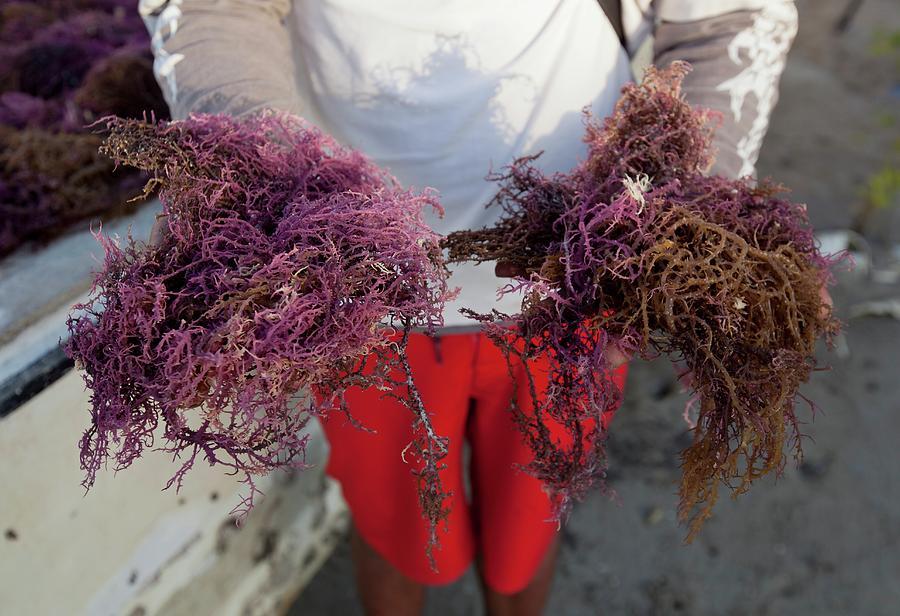 Agar Photograph - 2015 Agar Seaweed Algae Coastal Farming by Paul D Stewart