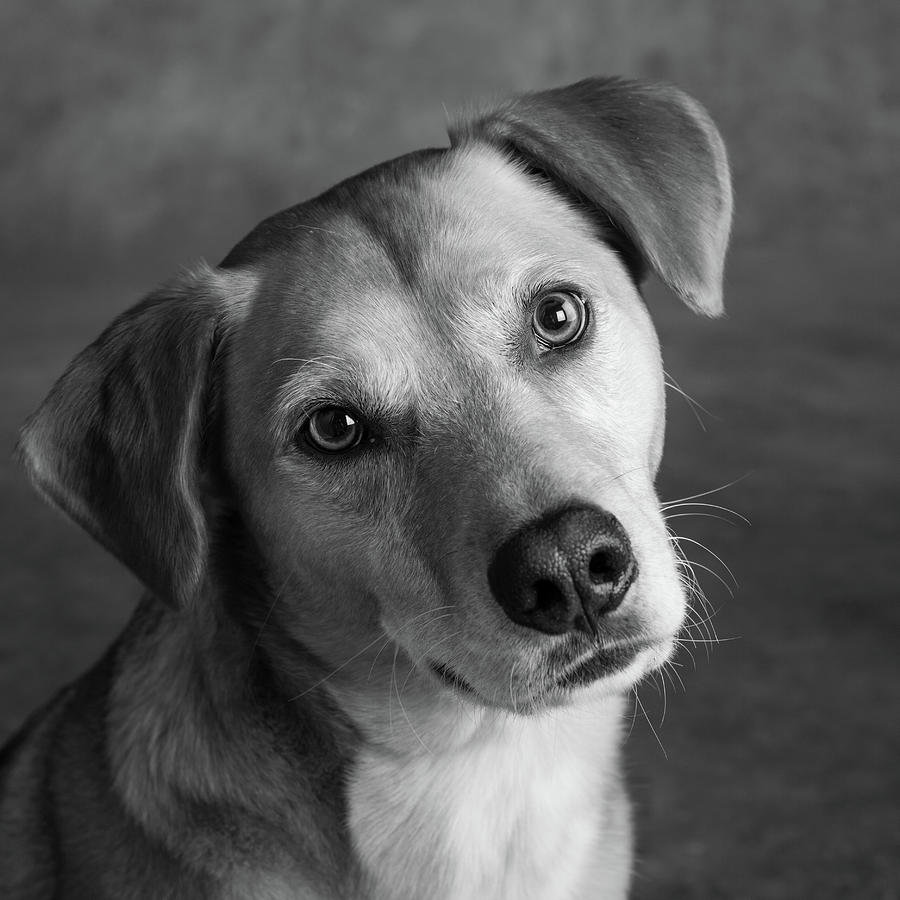 Horizontal Photograph - Portrait Of Red Bone Coon Mix Dog by Animal Images