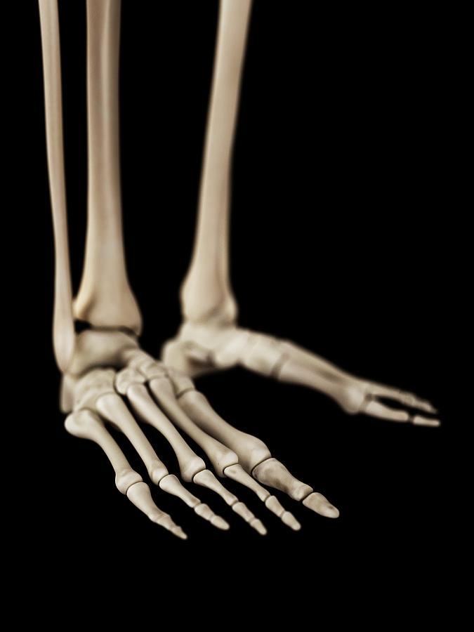 Artwork Photograph - Human Foot Bones by Sebastian Kaulitzki