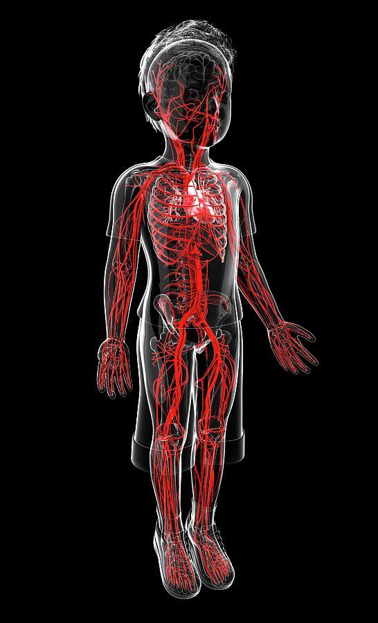 Human Vascular System Photograph by Pixologicstudio