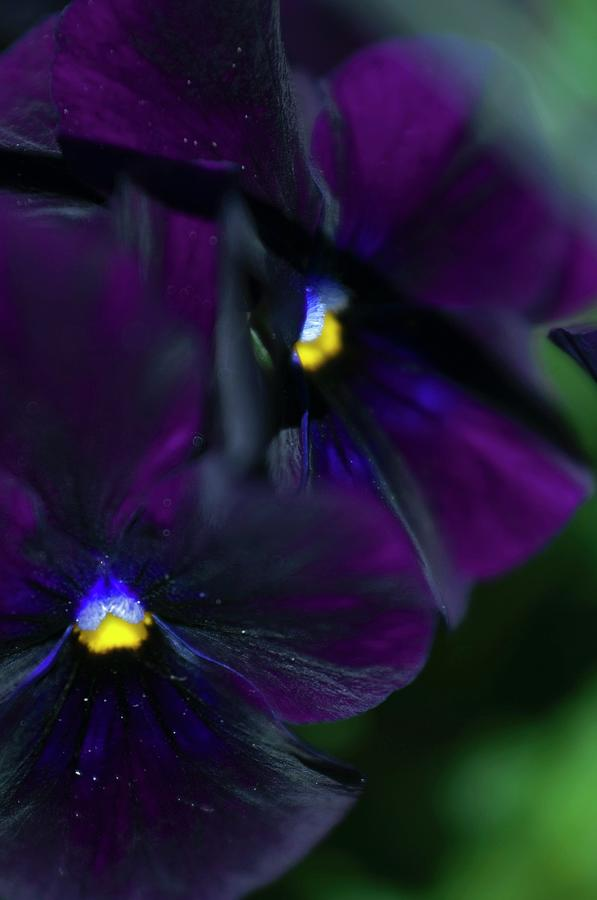 Pansy Photograph - Pansy (viola X Wittrockiana) by Maria Mosolova/science Photo Library