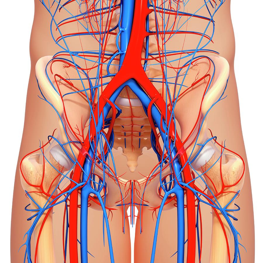 Pelvis Anatomy Photograph By Pixologicstudioscience Photo Library