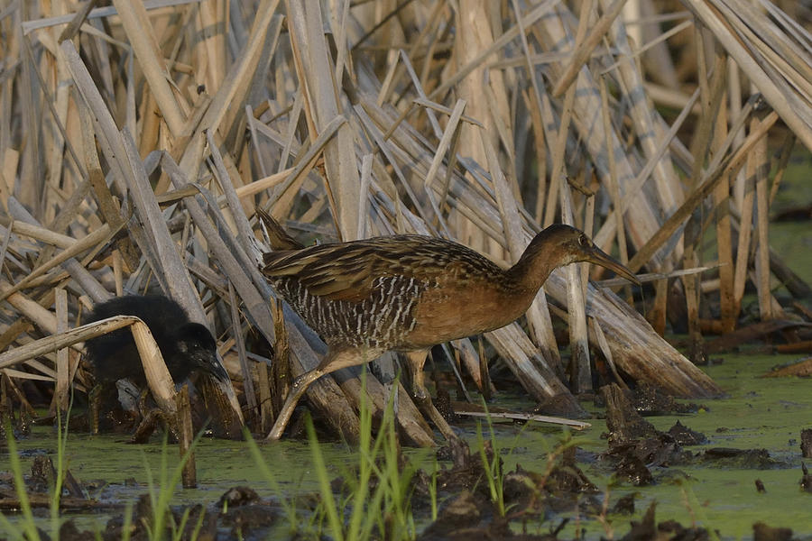 King Rails In A Wetland Photograph