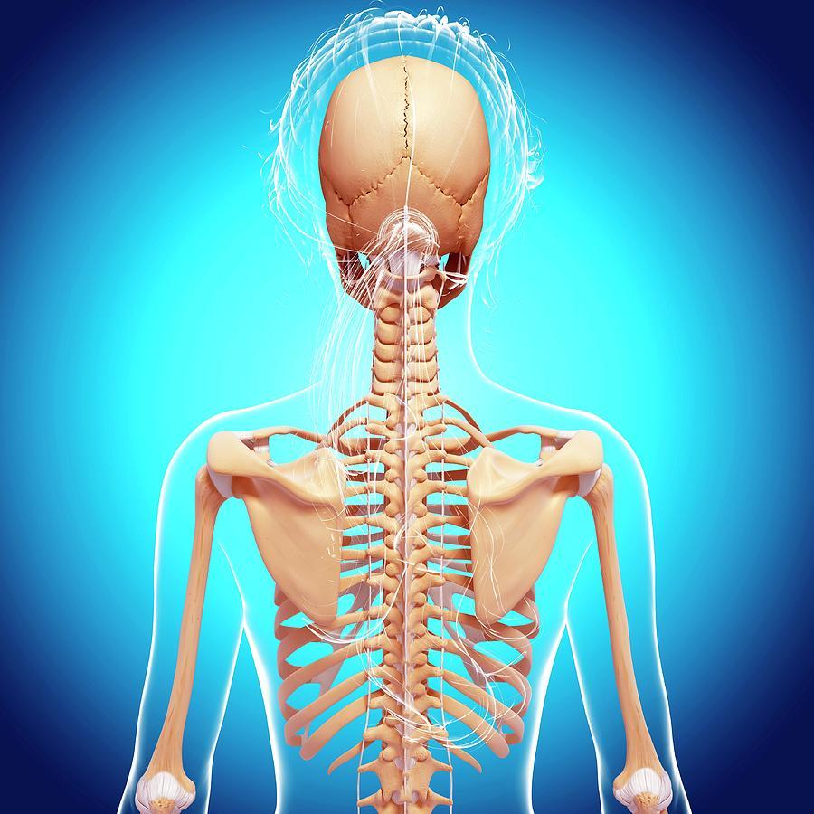Artwork Photograph - Female Skeleton by Pixologicstudio/science Photo Library