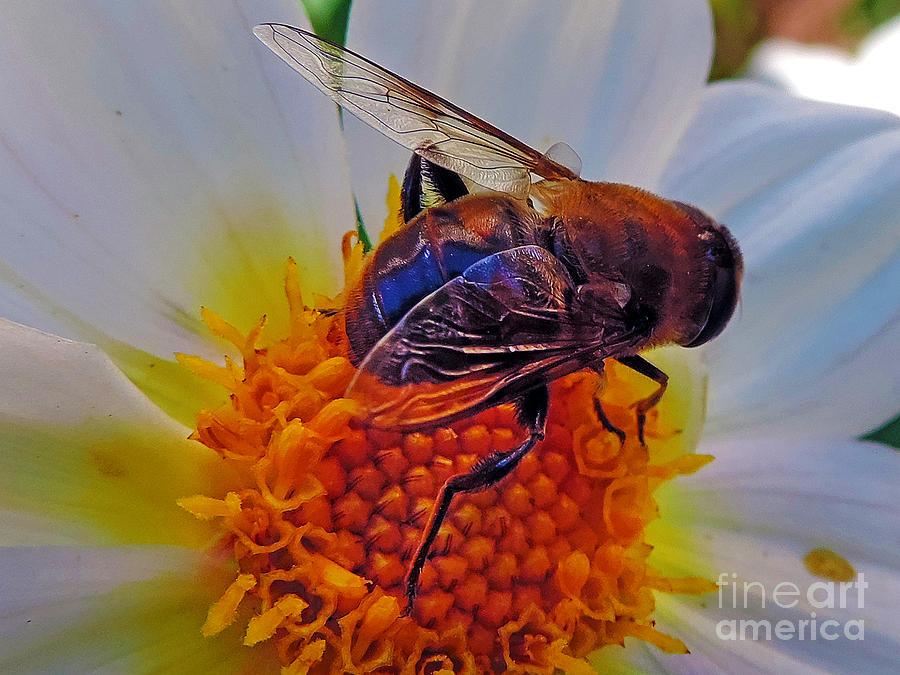 2013 Photograph - 2397-bee On Dahlia by Elvira Ladocki