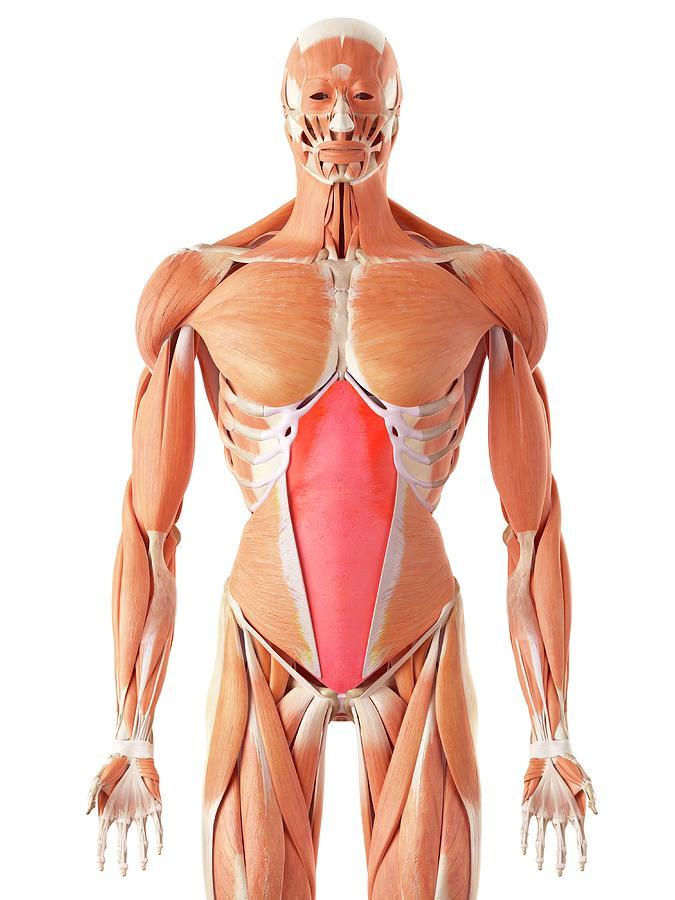 Human Abdominal Muscles Photograph By Sebastian Kaulitzki