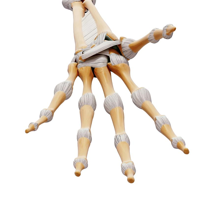 Artwork Photograph - Human Hand Bones by Pixologicstudio/science Photo Library