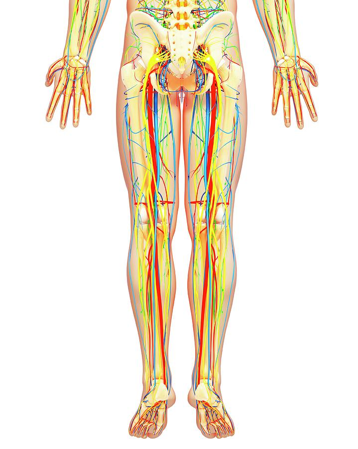 Lower Body Anatomy Photograph By Pixologicstudioscience Photo Library