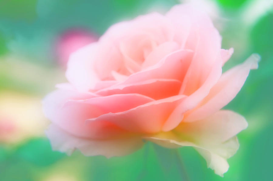 Rose Photograph - Rose (rosa Sp.) by Maria Mosolova/science Photo Library