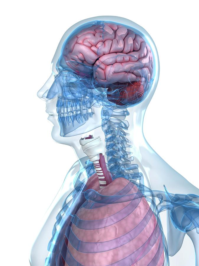 Artwork Photograph - Head Anatomy by Sciepro/science Photo Library