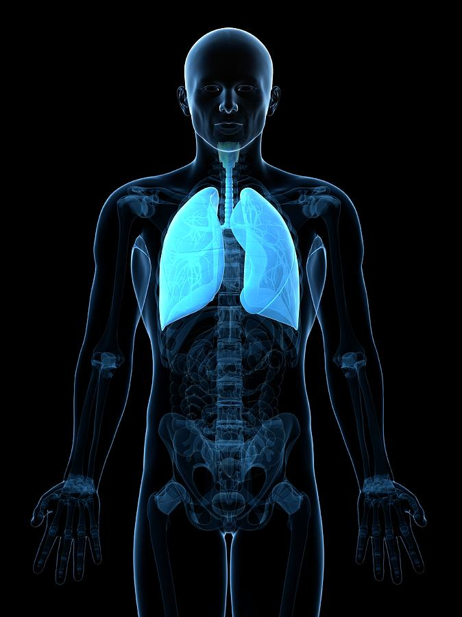 Artwork Photograph - Healthy Lungs by Sciepro/science Photo Library
