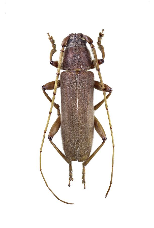 1 Photograph - Longhorn Beetle by F. Martinez Clavel