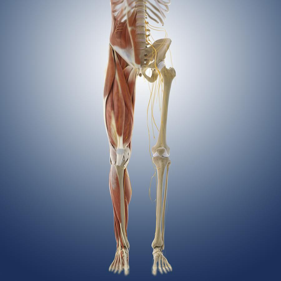 Lower Body Anatomy Artwork Photograph By Science Photo Library