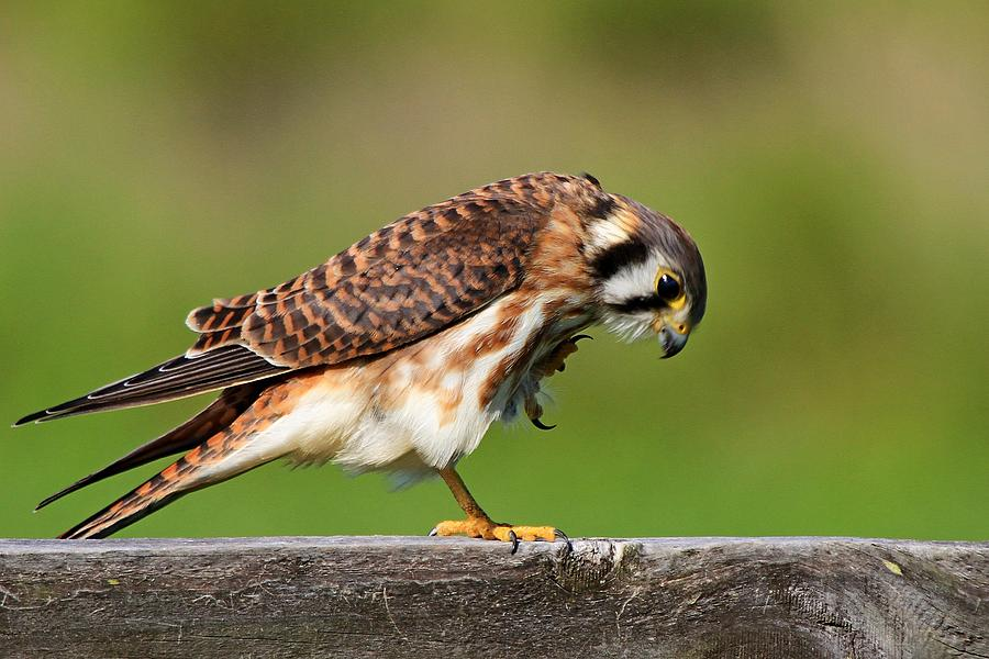 Falcon Photograph - American Kestrel by Ira Runyan