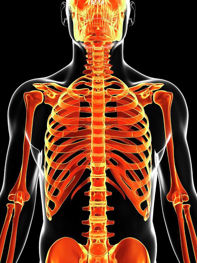 Artwork Photograph - Human Skeleton by Sebastian Kaulitzki