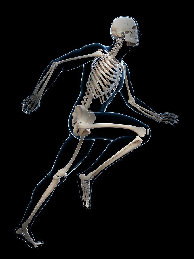 Artwork Photograph - Skeletal System Of Runner by Sebastian Kaulitzki