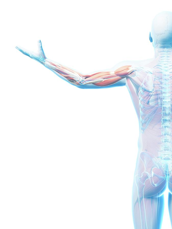 Artwork Photograph - Male Musculature by Sciepro/science Photo Library