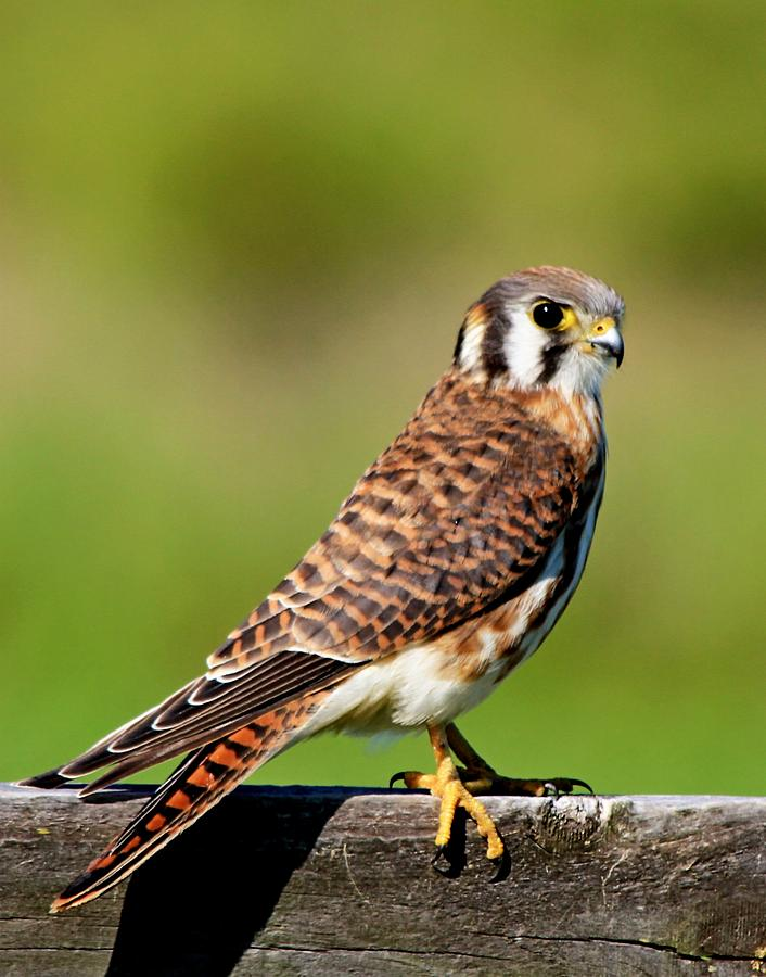 Falcon Photograph - American Kestrel by Ira Runyan