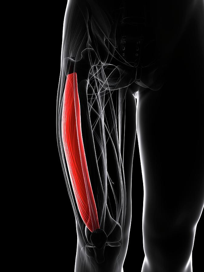 Artwork Photograph - Thigh Muscle by Sciepro/science Photo Library
