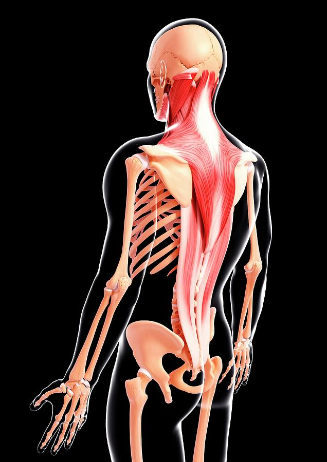 Artwork Photograph - Human Musculature by Pixologicstudio/science Photo Library