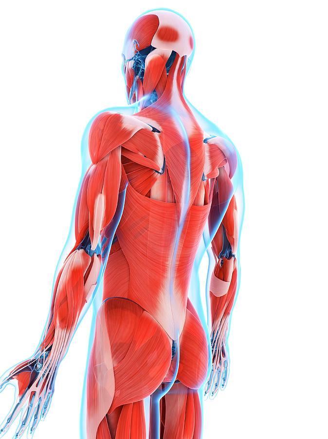 Artwork Photograph - Human Back Muscles by Sebastian Kaulitzki