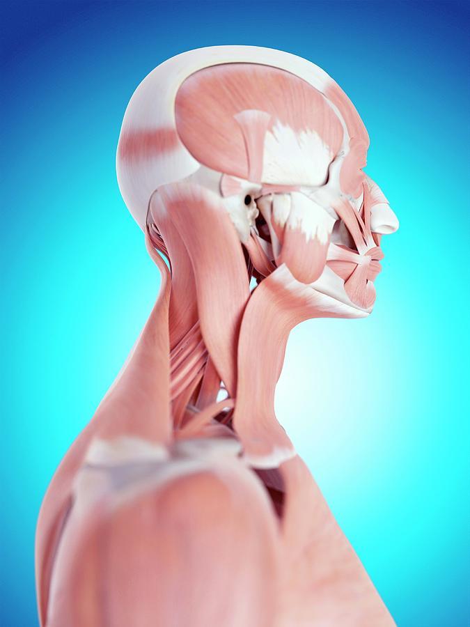 Artwork Photograph - Human Neck Muscles by Sebastian Kaulitzki/science Photo Library