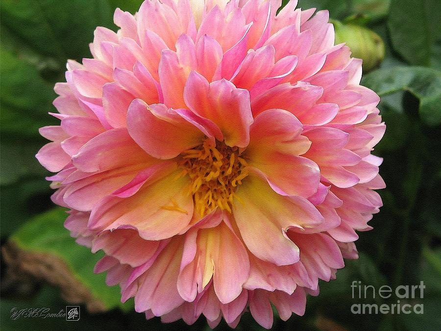 Dahlia Painting - Dahlia From The Showpiece Mix by J McCombie