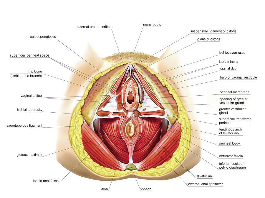 Female Genital System Photograph by Asklepios Medical Atlas